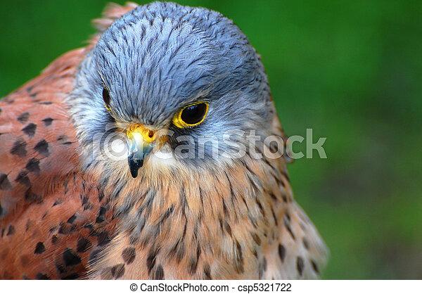 Head Portrait Of A Kestrel