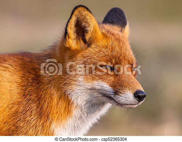Head Shot Of Red Fox Head Shot Portrait Of Red Fox Vulpes Vulpes Looking Towards The Sun In Natural Environment The
