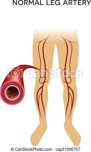 Healthy leg artery on a white background. .