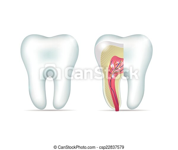 Healthy white tooth and cross section of the tooth - csp22837579