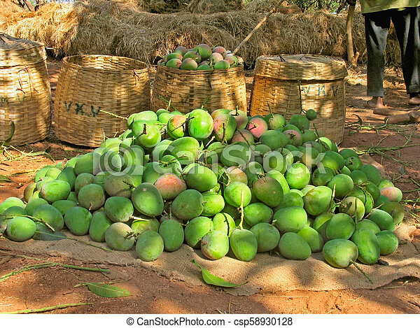 heap of raw alphonso mangoes stacked for stock photo csp58930128