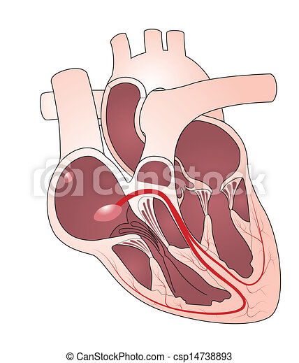 Heart conducting system - csp14738893