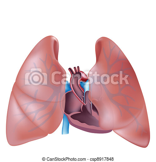 Heart cross section and lungs  - csp8917848