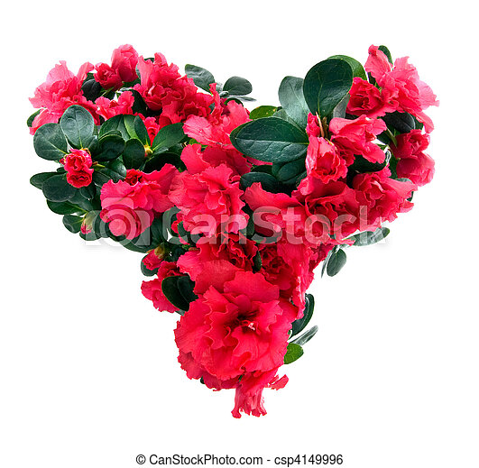 heart from azalea flowers for valentine's day isolated on white - csp4149996