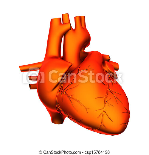 Heart - internal organs - isolated on white.