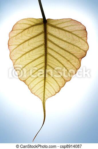 Heart shaped new leaf of peepal tree in sunlight - csp8914087