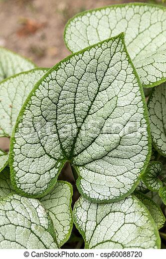 Frost garden buglossBrunnera 'Jack brunneraSiberian Heartleaf 'in macrophylla dCorexB