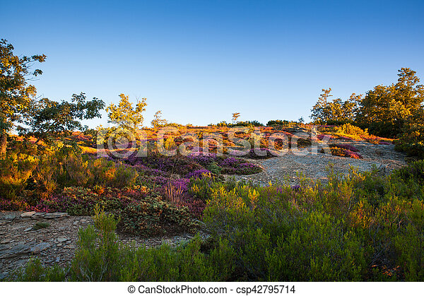 Heather flowers in the spanish countryside at sunrise