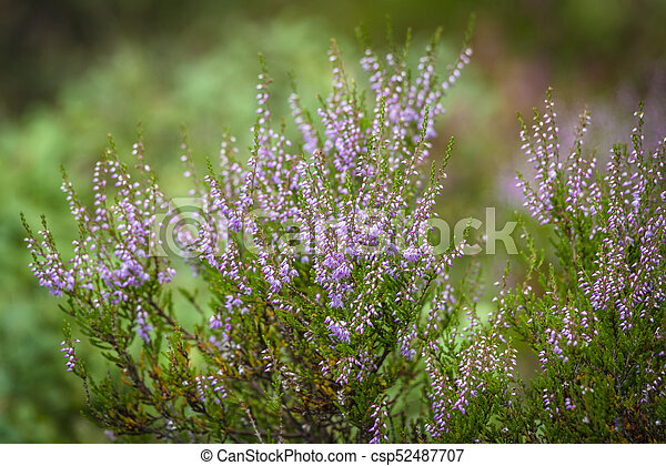 Heather Plant In Wild Nature In The Summer On A Green Blurry