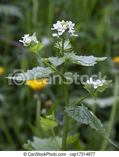 Hedge Garlic, Alliaria petiolata - csp17314877