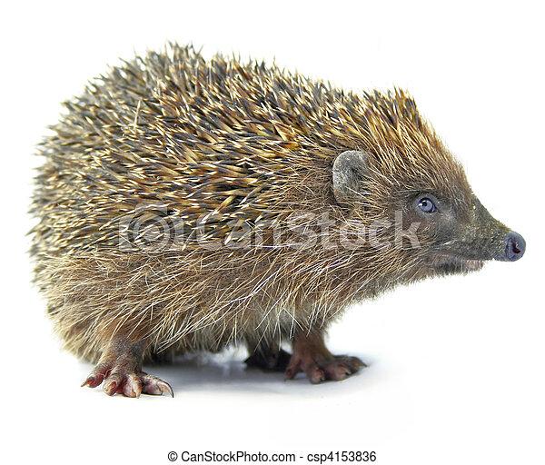 hedgehog animal isolated on white - csp4153836
