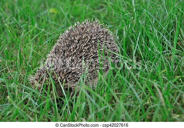 Hedgehog in a meadow - csp42027616