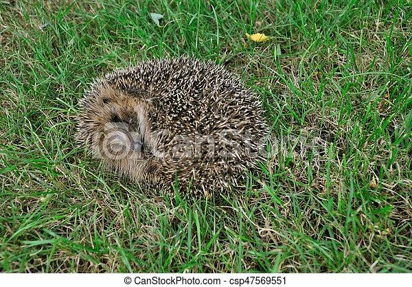 Hedgehog in a meadow - csp47569551