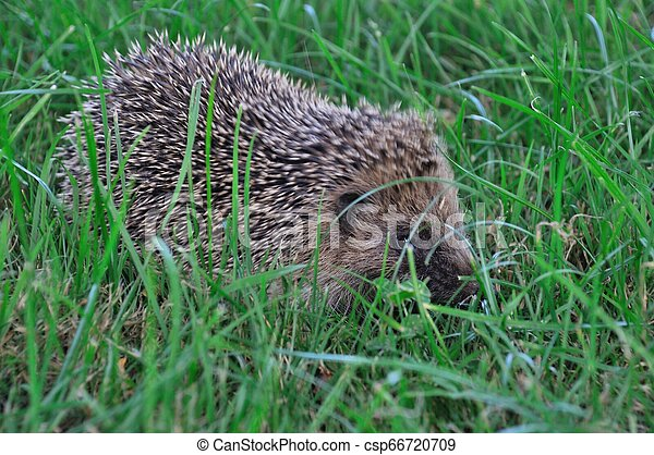 Hedgehog in a meadow - csp66720709