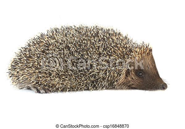 hedgehog - csp16848870