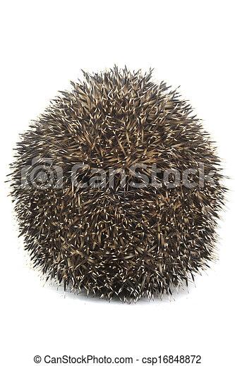 hedgehog - csp16848872