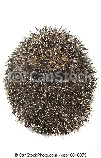 hedgehog - csp16848873