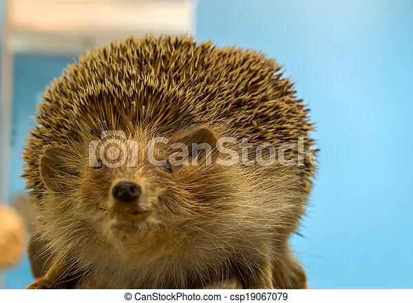 Hedgehog - csp19067079