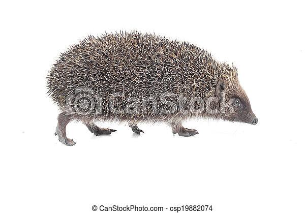 hedgehog - csp19882074