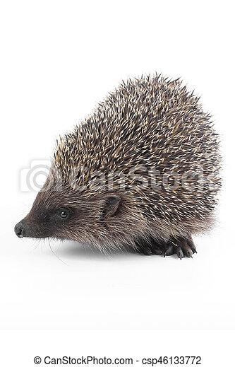 hedgehog - csp46133772