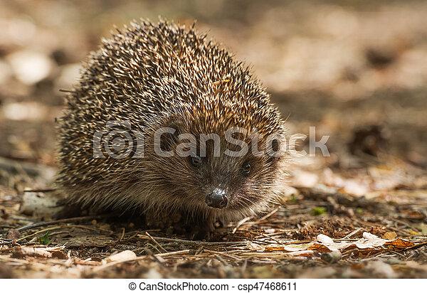 hedgehog - csp47468611