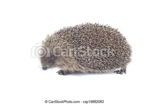 hedgehog - csp19882083