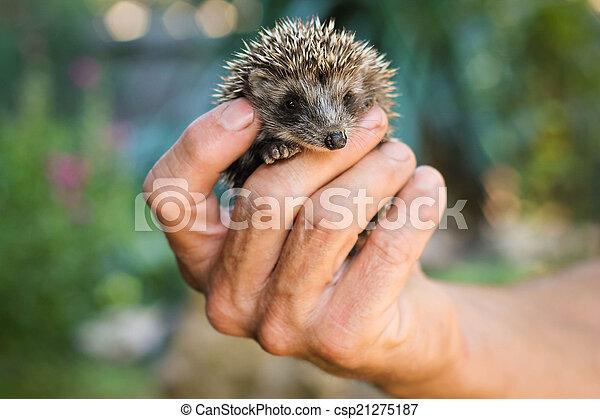 hedgehog - csp21275187