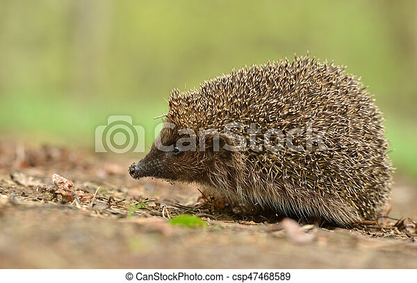 hedgehog - csp47468589