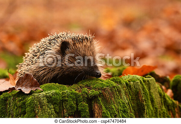 hedgehog - csp47470484