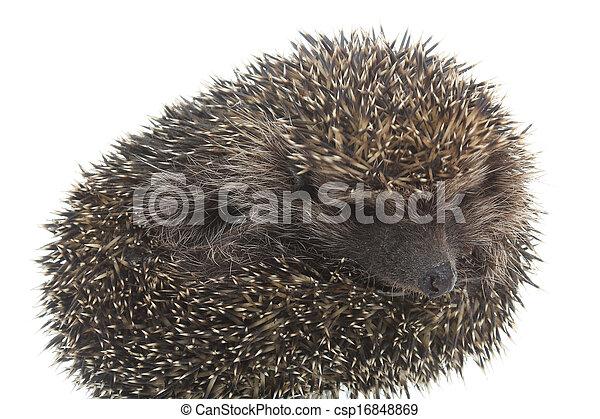 hedgehog - csp16848869