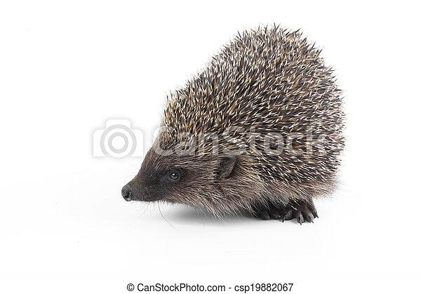 hedgehog - csp19882067