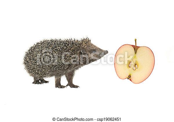 hedgehog - csp19062451