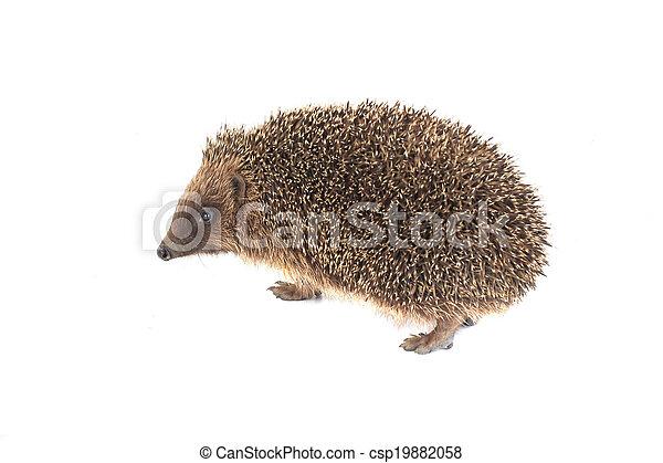hedgehog - csp19882058