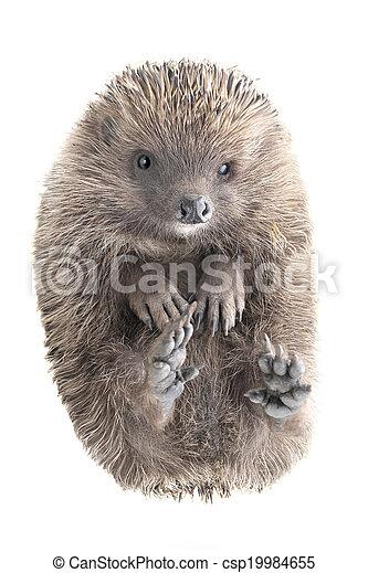 hedgehog - csp19984655