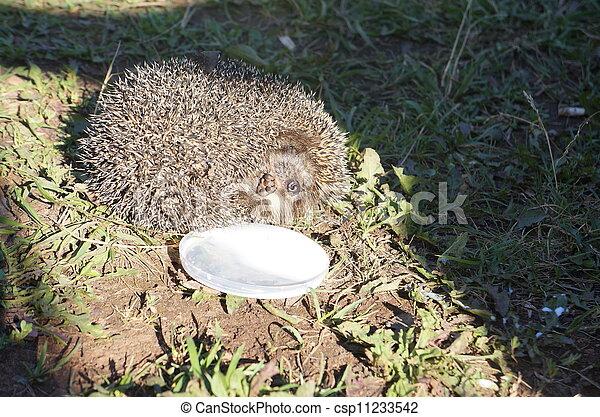 hedgehog - csp11233542