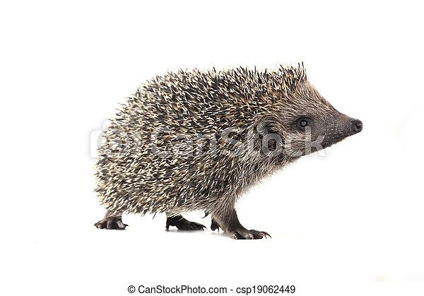 hedgehog - csp19062449