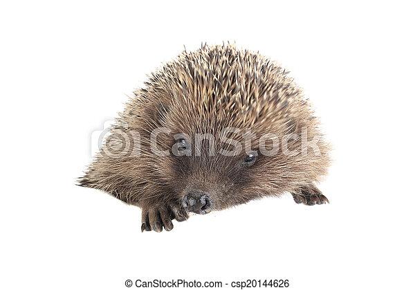 hedgehog - csp20144626