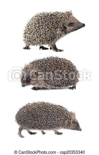 hedgehog - csp20353340