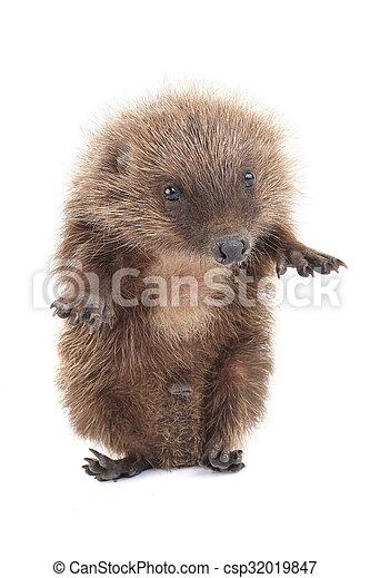 hedgehog - csp32019847