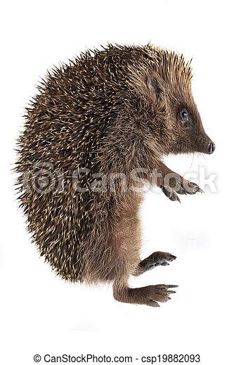 hedgehog - csp19882093