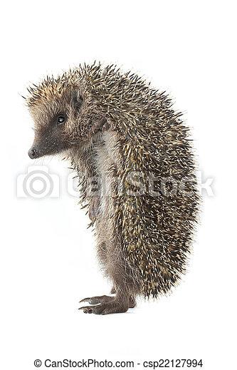 hedgehog - csp22127994