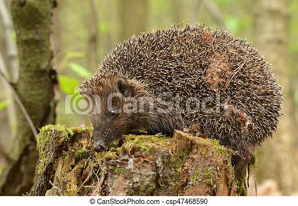 hedgehog - csp47468590