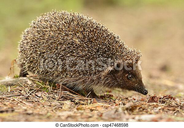 hedgehog - csp47468598