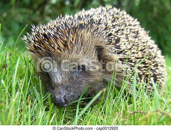 Hedgehog - csp0012920