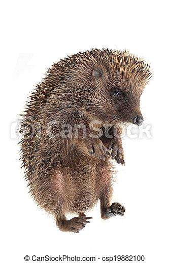 hedgehog - csp19882100
