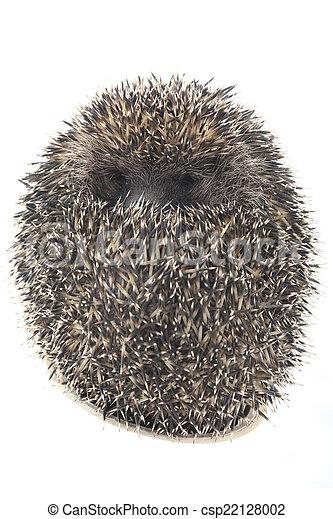 hedgehog - csp22128002