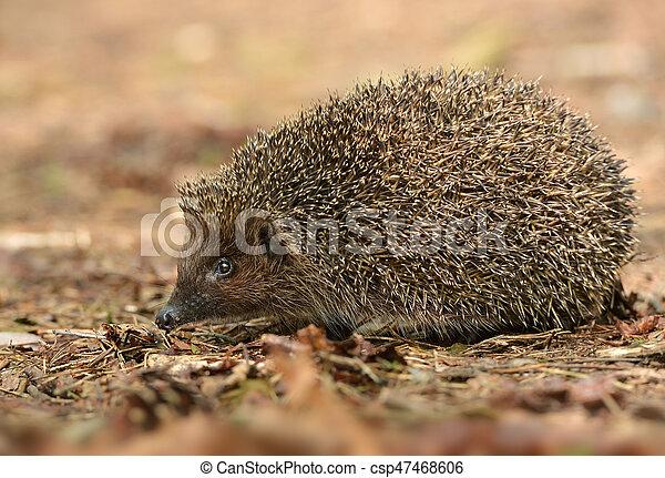 hedgehog - csp47468606