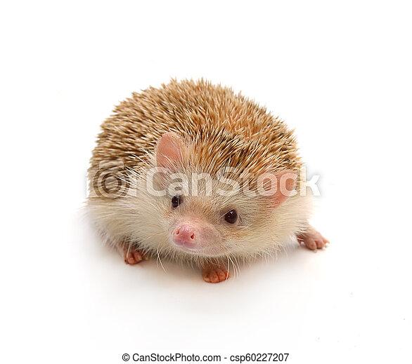 Hedgehog - csp60227207