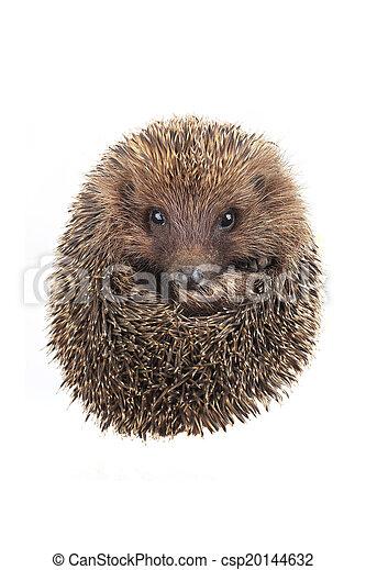 hedgehog - csp20144632