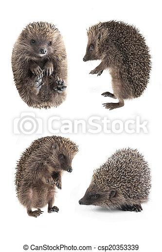 hedgehog - csp20353339